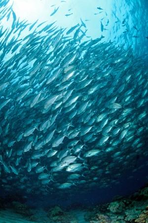 school of Jackfish at Sipadan Island,Borneo,Malaysia  photo