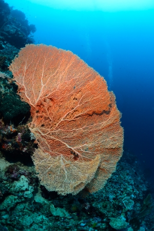 Giant seafan underwater in Sipadan, Malaysia  photo