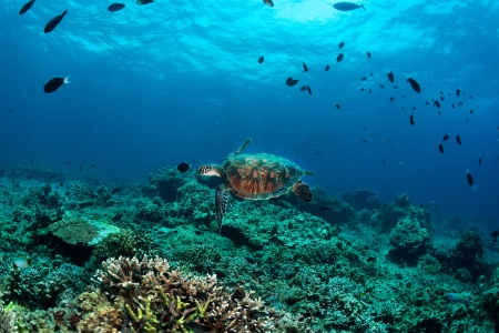 green turtle on coral reef sipadan island sabah borneo  photo