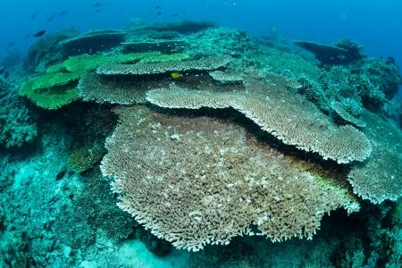 Underwater staghorn table coral in Sipadan, Malaysia Stock Photo - 22730263
