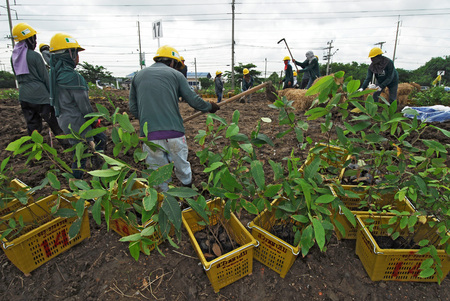 industrail: CHA CHOENG SAO - AUGUST 3 ; Unidentified workers are planting tiny trees around industrail zone, August 3,2008, Cha choeng sao, Thailand. Editorial