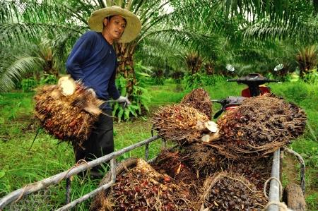 trabajador petroleros: Chumporn-TAILANDIA, 04 de noviembre: Trabajadores tiro aceite de palma fruta rama en el cami�n el 04 de Noviembre de 2009, Chumporn, Tailandia. Editorial