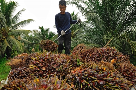 asia nature: CHUMPORN-THAILAND, NOVEMBER 04: Worker throw oil palm fruit branch to the truck on Nov 04, 2009, Chumporn, Thailand.