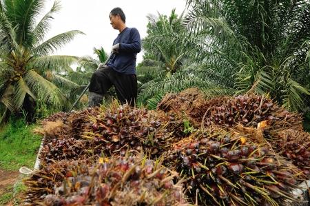 palm oil plantation: CHUMPORN-THAILAND, NOVEMBER 04: Worker throw oil palm fruit branch to the truck on Nov 04, 2009, Chumporn, Thailand.