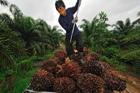Chumporn-THAILAND NOVEMBER 04: Worker Wurf Ölpalmfrucht Zweig zu dem LKW auf 4. November 2009, Chumporn, Thailand. Standard-Bild - 24651815