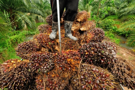 cpo: CHUMPORN-THAILAND, NOVEMBER 04: Worker stand on oil palm fruit branch to the truck on Nov 04, 2009, Chumporn, Thailand.