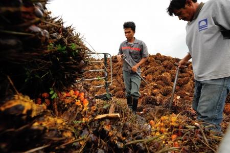 cpo: CHUMPORN-THAILAND, NOVEMBER 04: Worker throw oil palm fruit branch to the truck on Nov 04, 2009, Chumporn, Thailand.