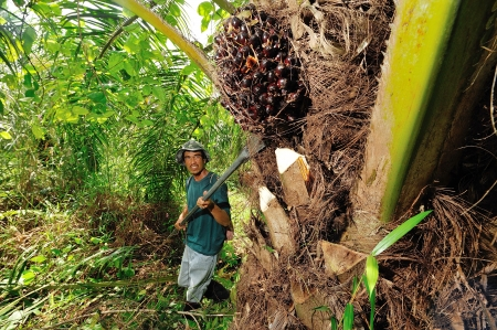 CHUMPORN-THAILAND, NOVEMBER 05: Worker harvest oil palm fruit branch to the truck on Nov 05, 2009, Chumporn, Thailand. Editorial