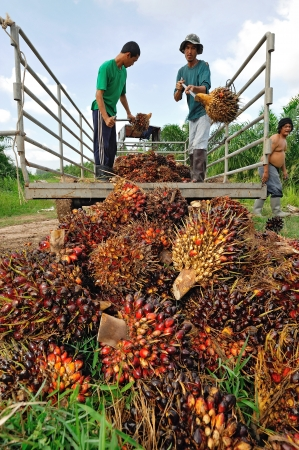 CHUMPORN-THAILAND, NOVEMBER 05: Worker throw oil palm fruit branch to the truck on Nov 05, 2009, Chumporn, Thailand.