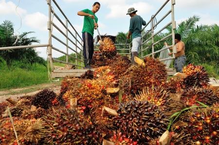 CHUMPORN-THAILAND, NOVEMBER 05: Worker throw oil palm fruit branch to the truck on Nov 05, 2009, Chumporn, Thailand.