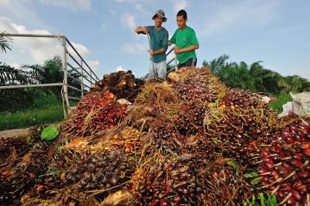 cpo: CHUMPORN-THAILAND, NOVEMBER 05: Worker throw oil palm fruit branch to the truck on Nov 05, 2009, Chumporn, Thailand.