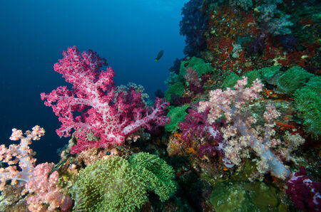 coral colony: Soft coral colony , Similan island Thailand