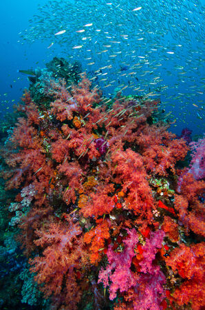 coral colony: Corallo molle colonia, isola di Similan in Thailandia Archivio Fotografico