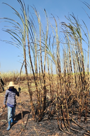 THAILAND - DECEMBER 09 : The workers are harvesting the sugarcane crop on December 09, 2009 in Srakaew province, Thailand.