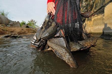 THAILAND - DECEMBER 18 : plecostomus (sucker fish) alien specie outbreak in river on December 18, 2010, Chonburi province, Thailand.