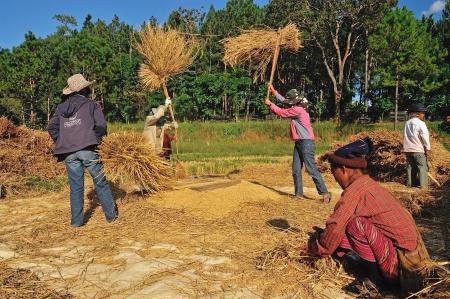 threshing: MAEHONGSON, THAILAND- NOVEMBER 20: An unidentified farmers isthreshing grain after harvesting on November 20 , 2010 in Maehongson, Thailand  Editorial