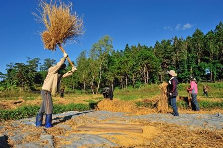 thresh: MAEHONGSON, THAILAND- NOVEMBER 20: An unidentified farmers isthreshing grain after harvesting on November 20 , 2010 in Maehongson, Thailand  Editorial
