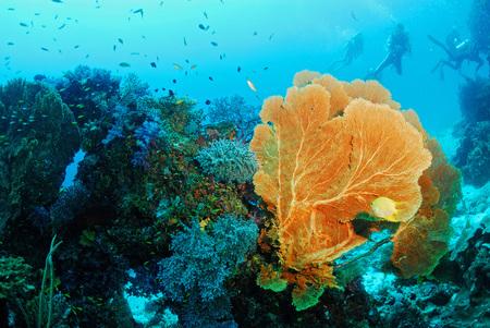 coral colony: Seafan con la colonia di corallo, isola di Similan in Thailandia