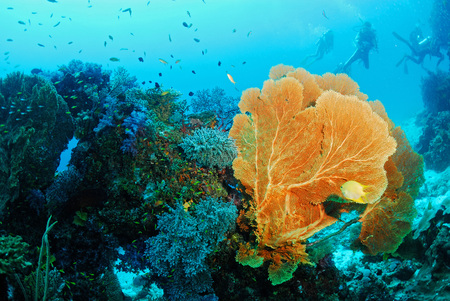 coral colony: Seafan with coral colony , Similan island Thailand