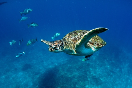 seafan: Green turtle at sea surface, Similan, Thailand