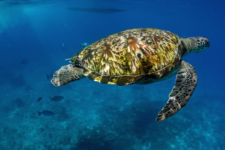 Green turtle at sea surface, Similan, Thailand photo