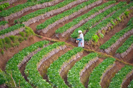 chiangmai province: Worker on duty in strawberry farm at Doi angkhang , Chiangmai province