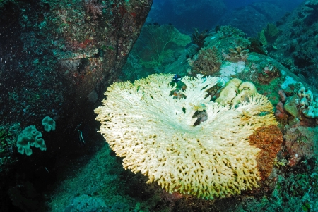 seafan: coral bleaching in Thailand