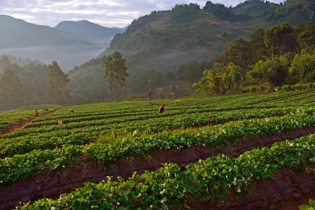 Strawberry farm at Doi angkhang , Chiangmai province  photo