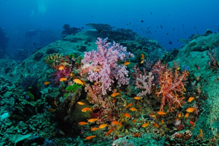 Beautiful colorful soft coral with diver, Similan, Thailand.  photo
