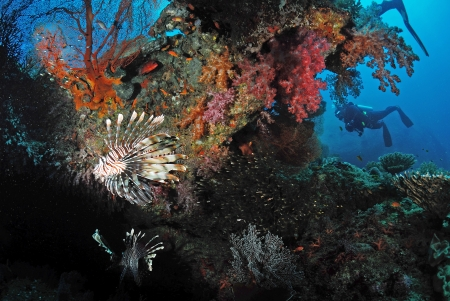 lionfish and soft coral in Similan, Thailand. photo