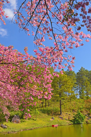 Wild Himalayan cherry landscape in Rong Tao Naree agriculture center, Doi Inthanon, Chiang Mai ,Thailand  photo