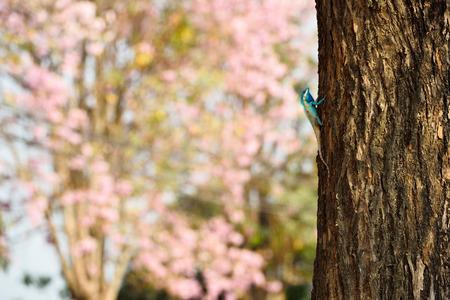 species of creeper: Bule thai lizard on tree with pink flower background