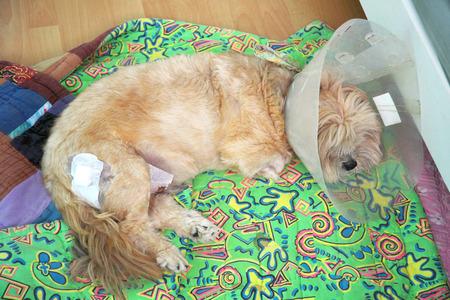 Sick dog with collar photo