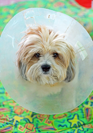 injure: Cute dog puppy looking at the camera in a plastic cone collar neck after a surgical operation