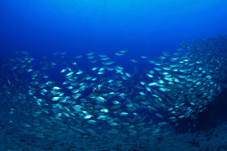 School mackerel fish underwater in ocean