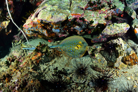 taeniura: Blue-spotted sting ray (Taeniura lymma) Stock Photo