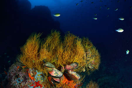 branching coral: Branching black coral in Chumpron national park, Thailand.