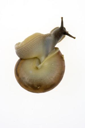 land slide: Garden snail on white background close up
