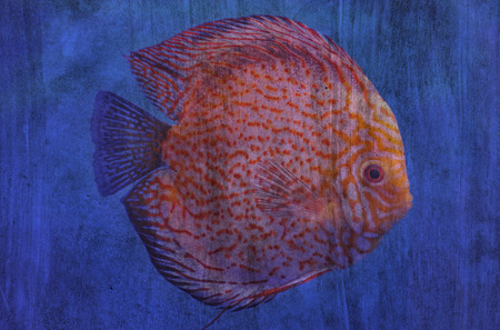 discus: discus fish The cement painting concept Stock Photo
