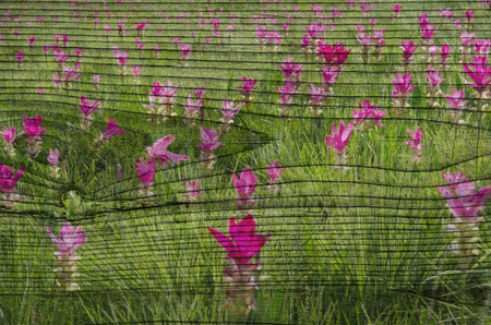 siam tulip field The wood painting concept photo