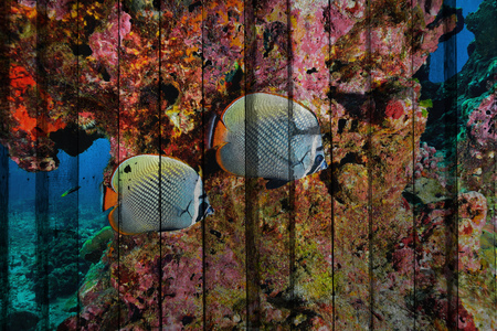 butterfly fish: butterfly fish Mural. The wood painting concept