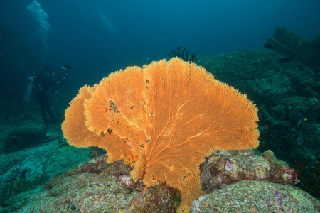 seafan: Coral and Seafan underwater in Similan Islands, Thailand Stock Photo