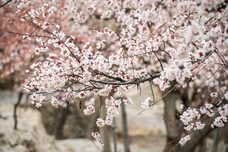 Pakistan: Cherry blossom in Hunza Pakistan