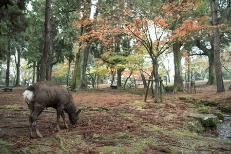 nara: Deer Of Nara Park Stock Photo