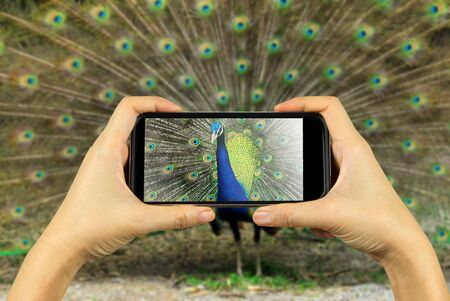 blue peafowl: Taking photo on smart phone concept.