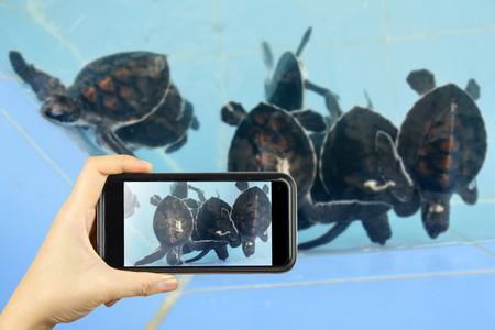 snapping turtle: Taking photo on smart phone concept.