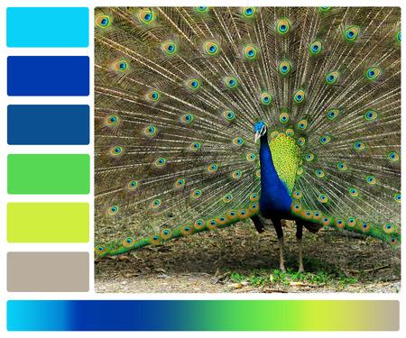 pavone con campioni tavolozza di colori