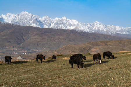 high priest: Yak herds feeding in the morning grass and village inclose mountain a famous landmark in Ganzi, Sichuan, China.
