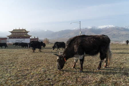 high priest: Garze, China - May 3, 2016: Yak herds feeding in the morning grass and village inclose mountain a famous landmark in Garze, Sichuan, China.