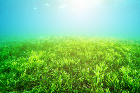 hardcoral: An ocean underwater reef with sun light through water surface. seagrass field
